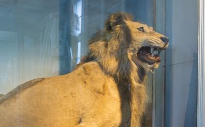 Lion Galerie des Mammifères